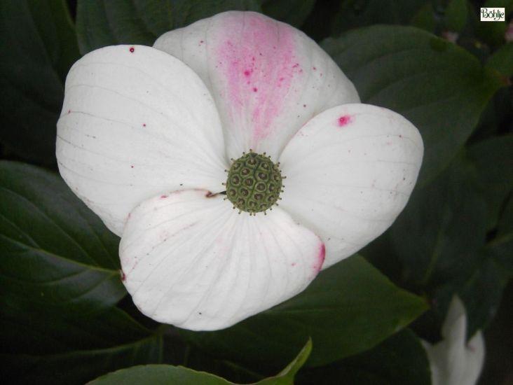 Cornus Kousa Chinensis Kreuzdame Chinesischer Blumenhartriegel