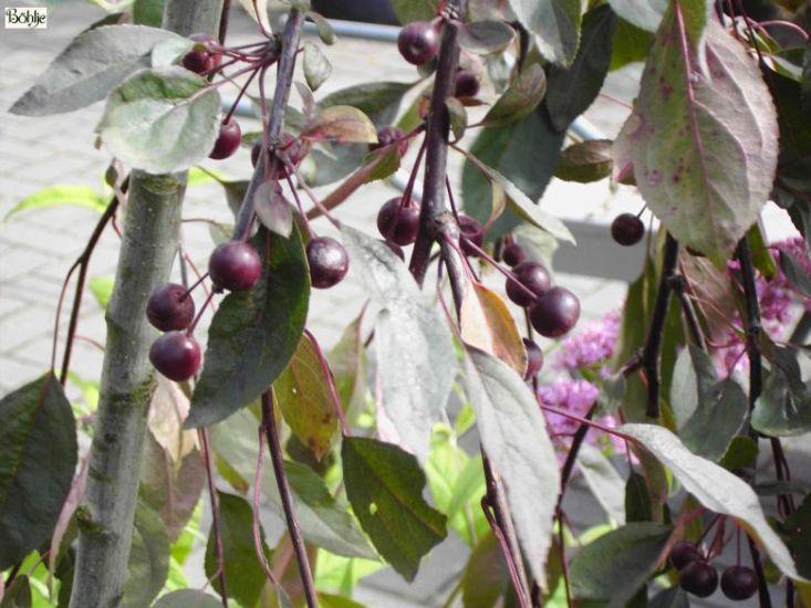 Malus Royal Beauty Zierapfel Böhlje Pflanzenhandel Gmbh
