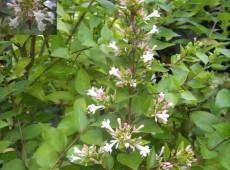 Abelia chinensis -chinesische Abelie-