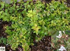 Abelia grandiflora -großblumige Abelie-
