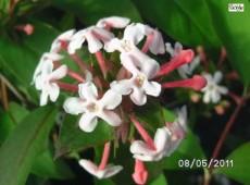Abelia mosanensis -koreanische Abelie-