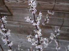 Abeliophyllum distichum -Schneeforsythie-