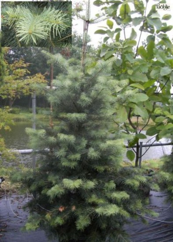 Abies concolor -Coloradotanne-