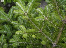 Abies delavayi georgei -Georges China-Tanne-