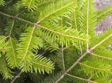 Abies sibirica -sibirische Tanne-