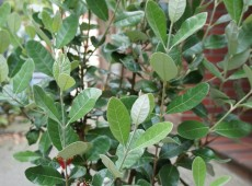 Acca sellowiana -brasilianische Guave-