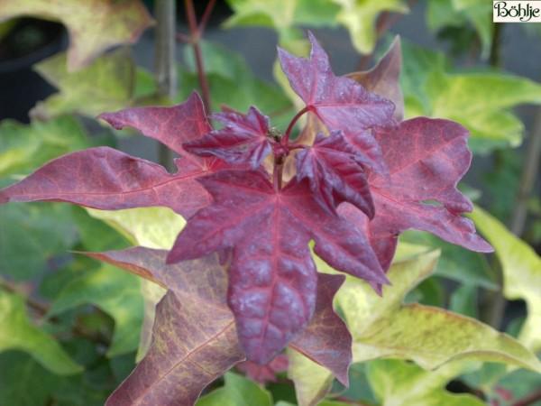 Acer cappadocicum 'Aureum' -kolchischer Goldahorn-