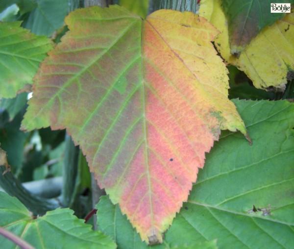 Acer davidii -Streifenahorn-