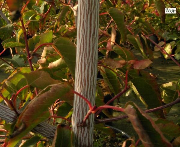 Acer davidii 'Serpentine' -Streifenahorn-