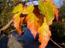 Acer ginnala -Feuerahorn-