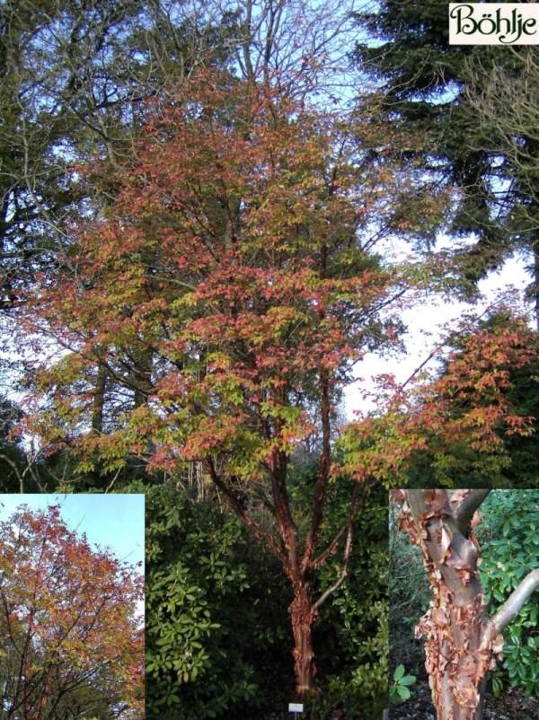 Acer griseum -Zimtahorn-