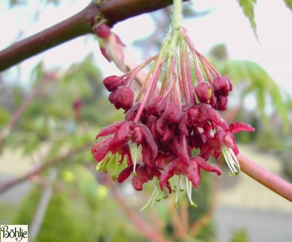 Acer japonicum 'Aconitifolium' -japanischer Feuerahorn / eisenhutblättriger Ahorn-