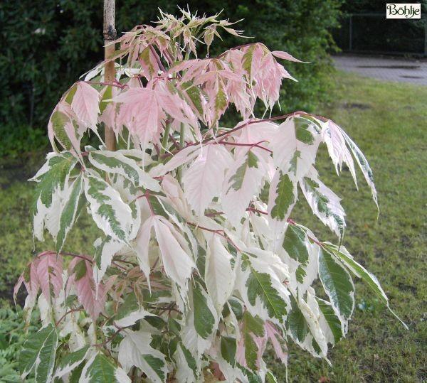 Acer negundo 'Flamingo' -weißbunter Eschenahorn-