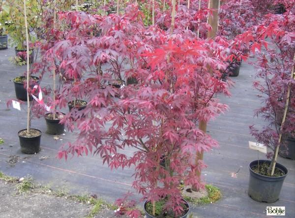 Acer palmatum 'Atropurpureum' -roter Fächerahorn-