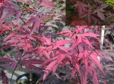 Acer palmatum 'Bloodgood' -dunkelroter Fächerahorn-