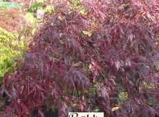 Acer palmatum 'Dissectum Atropurpureum' ('Ornatum') -roter Schlitzahorn-