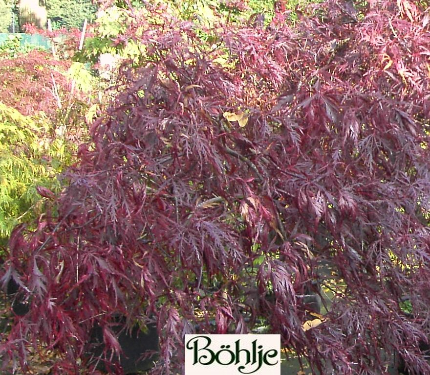 acer palmatum 39 dissectum atropurpureum 39 39 ornatum 39 roter. Black Bedroom Furniture Sets. Home Design Ideas