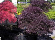 Acer palmatum 'Garnet' -dunkelroter Fächerahorn-