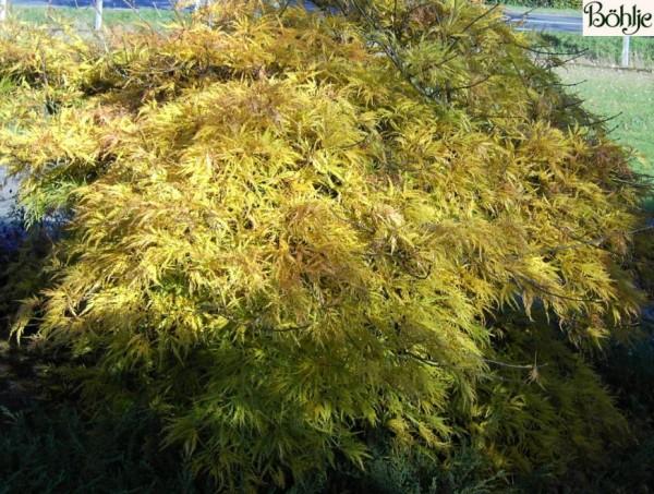 Acer palmatum 'Dissectum' -grüner Fächerahorn-