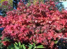 Acer palmatum 'Osakazuki' -Fächerahorn-