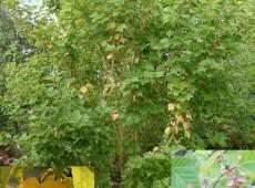Acer pensylvanicum -Streifenahorn-