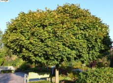 Acer platanoides 'Globosum' -Kugelahorn-