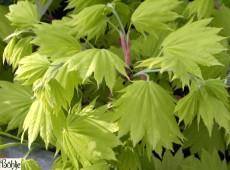 Acer shirasawanum 'Aureum' -Goldahorn-