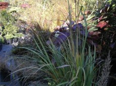 Achnatherum calamagrostis -Föhngras-