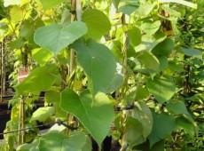 Actinidia chinensis 'Jenny' -Kiwi-