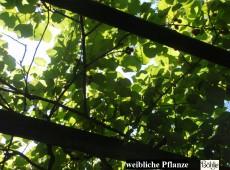 Actinidia chinensis -Kiwi- (männlich und weiblich)