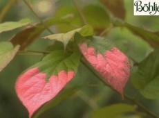 Actinidia kolomikta -Schmuckblatt - Kiwi-