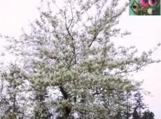 Amelanchier lamarckii -Felsenbirne-