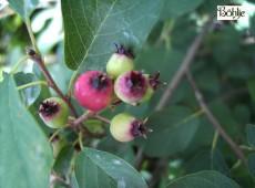 Amelanchier rotundifolia (Amelanchier ovalis)  -echte Felsenbirne-