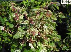 Ampelopsis glandulosa 'Elegans' -Scheinrebe-