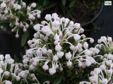 Andromeda polifolia 'Nikko' -Lavendelheide- (Heidekrautgewächs)