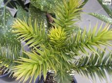 Araucaria araucana -chilenische Schmucktanne-