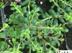 Arctostapyhlos uva-ursi -europäische Bärentraube-