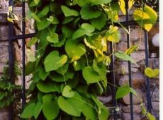 Aristolochia macrophylla -Pfeifenwinde-