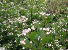 Aronia melanocarpa  -kahle Apfelbeere-