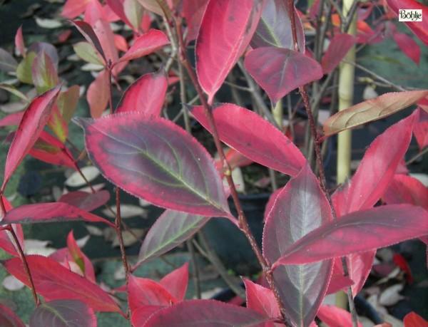 Aronia melanocarpa 'Hugin' -Apfelbeere-