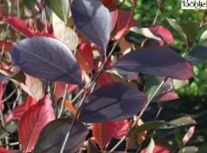 Aronia prunifolia 'Nero' -Apfelbeere-