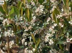 Aronia arbutifolia 'Brilliant' -Apfelbeere-
