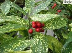 Aucuba japonica 'Variegata' -Aucube-
