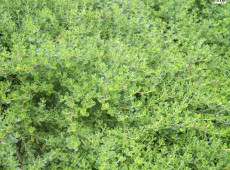Baccharis magellanica 'Baca' -Kreuzstrauch-