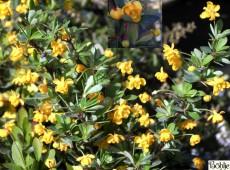 Berberis buxifolia 'Nana' -buchsbaumblättrige Berberitze-