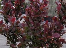 Berberis thunbergii 'Atropurpurea Nana' -kleine Blutberberitze-