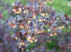 Berberis thunbergii 'Atropurpurea' -rote Heckenberberitze-