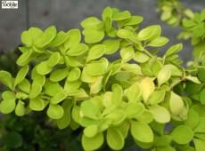 Berberis thunbergii 'Aurea' -Goldberberitze-