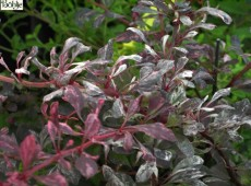 Berberis thunbergii 'Rose Glow' -rosaweiße Berberitze-