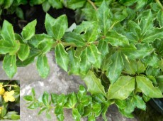Berberis verruculosa -Berberitze-